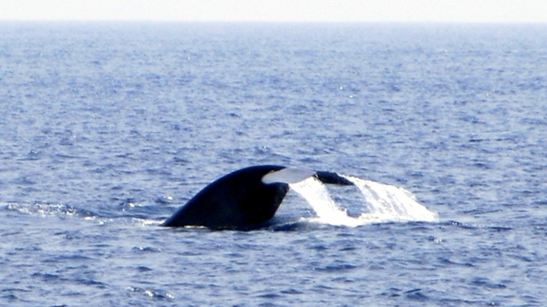 Blue Whales in sea near Mirissa, Sri Lanka - A WalkWithJith tour Photo by Tina Shirt.